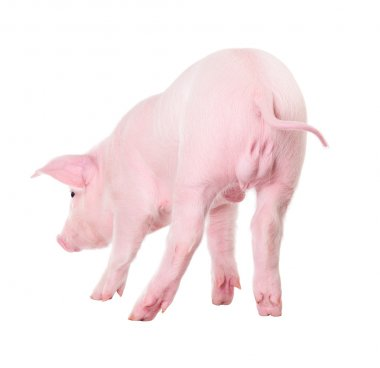 Danish Landrace pig breeds. Isolated on white background