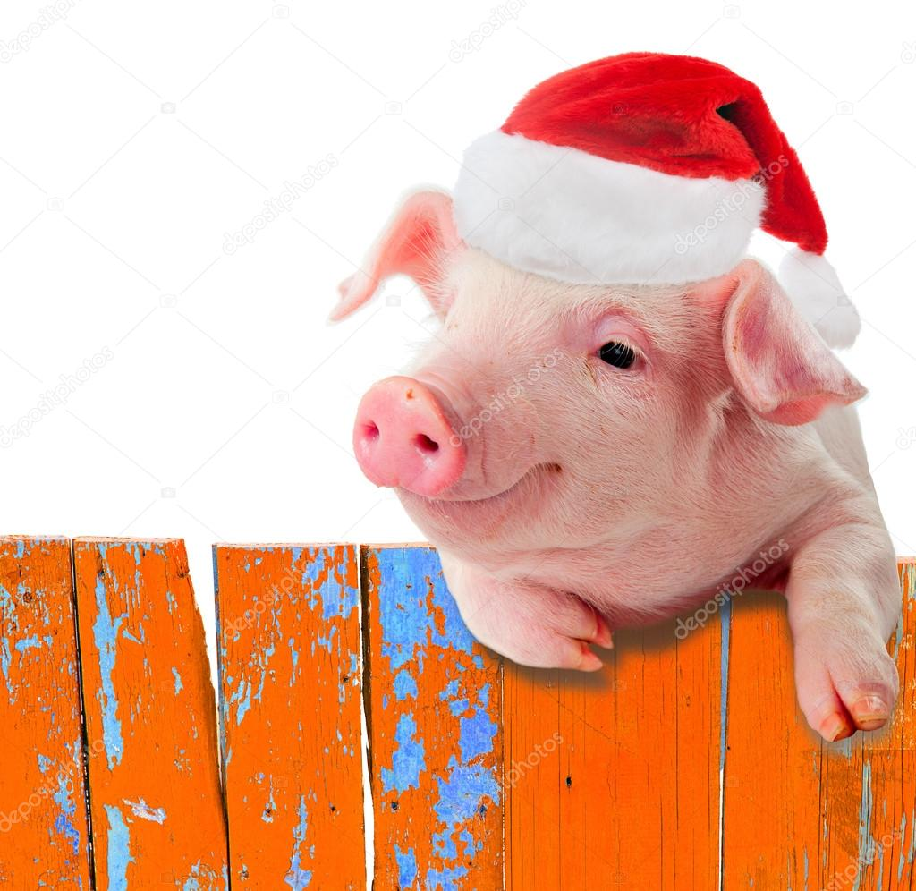 Funny pig in a cap of Santa Claus hanging on the fence. Studio photo. Isolated on white background. Collage for congratulations farmers.