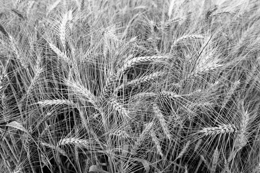 Spikes of ripe wheat on a farmers field. black and white photo. series of photos.