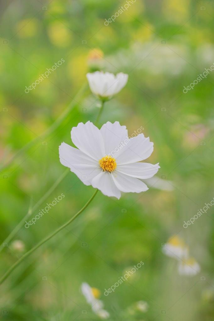 Pretty white cosmo flower blooming stock photo bassbsic 54953795 pretty white cosmo flower blooming stock photo mightylinksfo