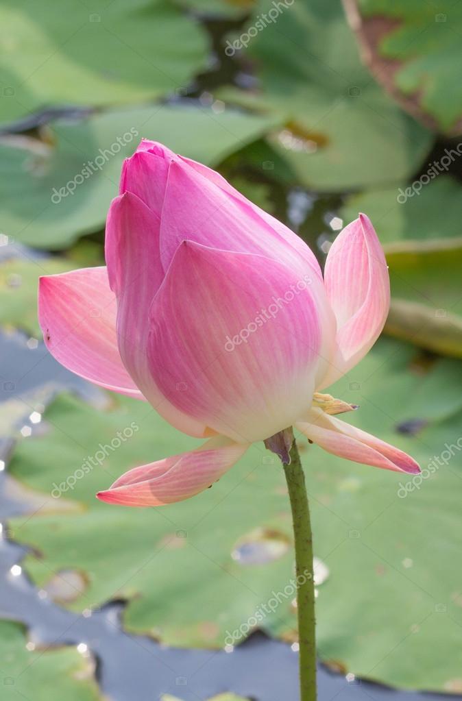 Rosee Sur Une Fleur De Lotus Avec Bouton De Lotus En Arriere Plan
