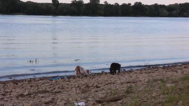 Cats on the bank of wide river, in sunset light