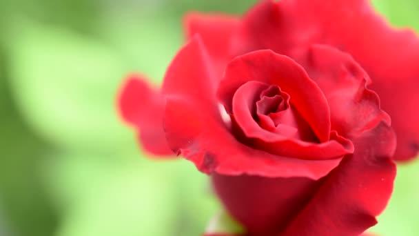Nahaufnahme roter Rose und grüner Hintergrund
