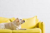 boční pohled na labradora psa ležícího na měkké žluté pohovce doma