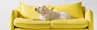 Side view of labrador dog lying on comfortable yellow sofa at home, banner stock vector