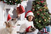 vzrušený africký americký dívka držení dárkové krabice při sezení s labrador pes a kočka v blízkosti vánoční strom