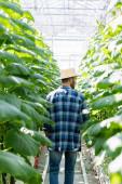 visszapillantás a mezőgazdasági termelő szalmakalapban és kockás ing közelében uborka növények üvegházban