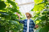šťastný farmář v slamáku a kostkované košile kontrola okurkové rostliny ve skleníku