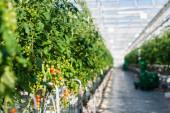 a cseresznye paradicsommal rendelkező növények szelektív fókusza az üvegházban