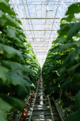 cucumber plants growing in hydroponics in glasshouse, blurred foreground