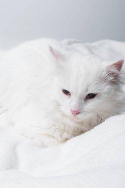 Gri üzerine izole edilmiş yumuşak battaniyede beyaz kedi
