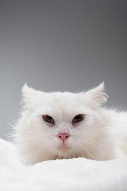 Gri üzerine izole beyaz battaniye üzerinde beyaz kedi