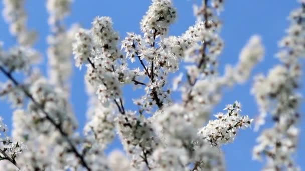 Flowering cherry in the sunlight on blue sky background