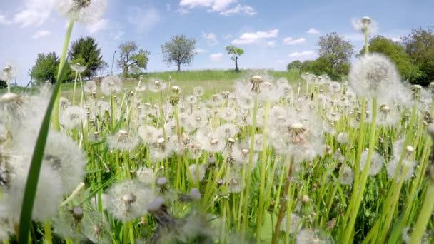 Pole přehnané bílých pampelišek na slunečný den