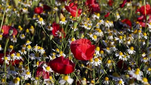 Virágzó chamomiles és piros Pipacsok napsütéses napon