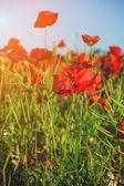 Fotografie Red poppy field