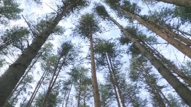 A fenyőerdők koronái forognak