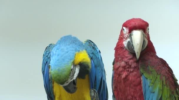 Detailní záběr dvou papoušků na světlém pozadí. Červené a modré jsou barvy papoušků.