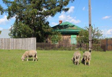 """Картина, постер, плакат, фотообои """"домашние животные овец пасутся на траве летом во дворе дома в деревне модульные города орхидеи"""", артикул 429264296"""