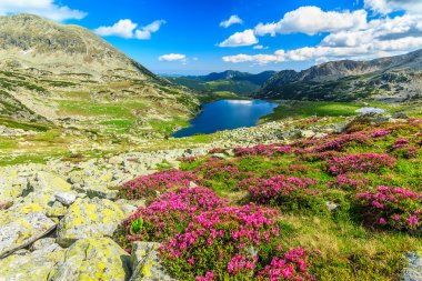 Magical rhododendron flowers and Bucura mountain lakes,Retezat mountains,Romania