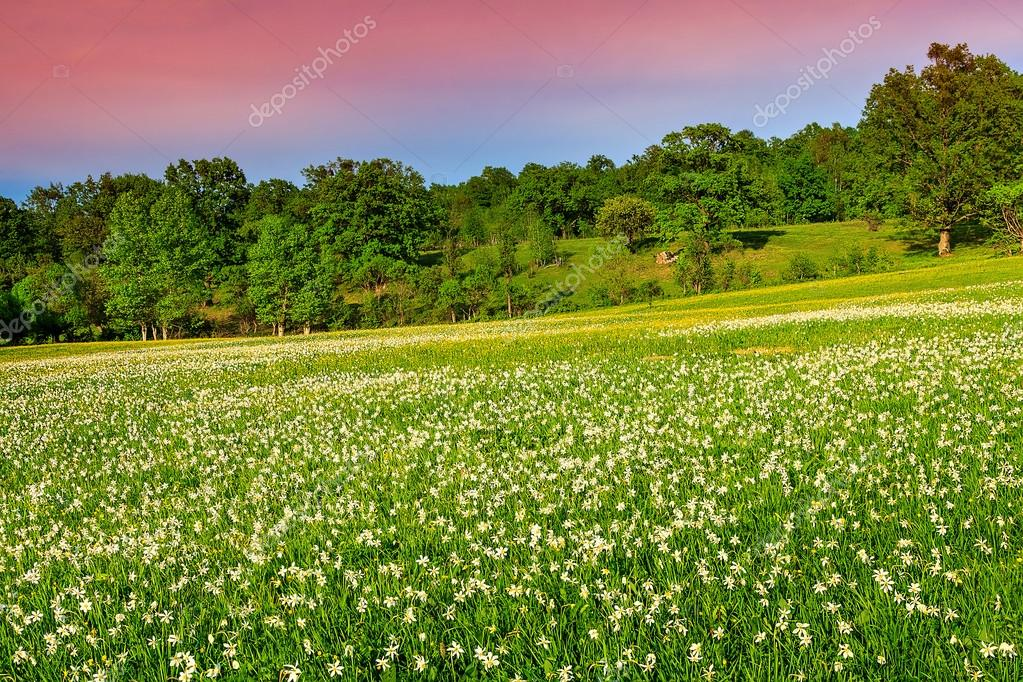 Stunning landscape and spring meadow with white daffodils flowers