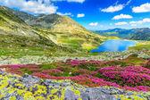 Kouzelné rododendronů květů a Bucura horská jezera, pohoří Retezat Rumunsko