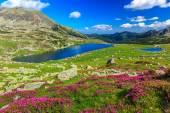 krásný rododendron květy a bucura horská jezera, pohoří retezat Rumunsko