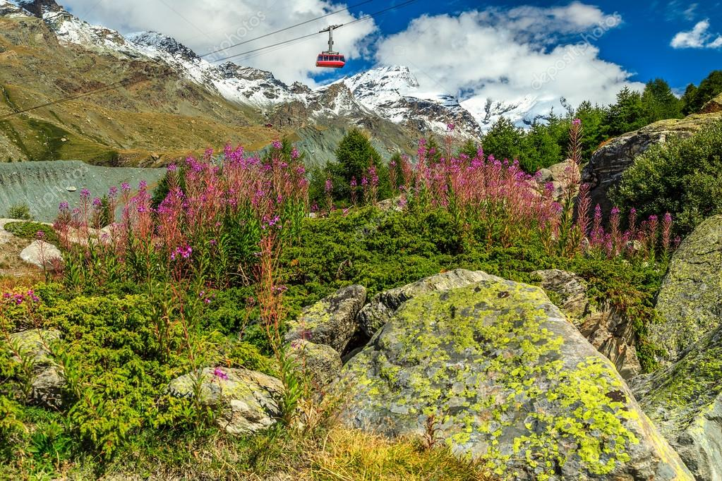 Alpine pink flowers and snowy mountains,Switzerland,Europe