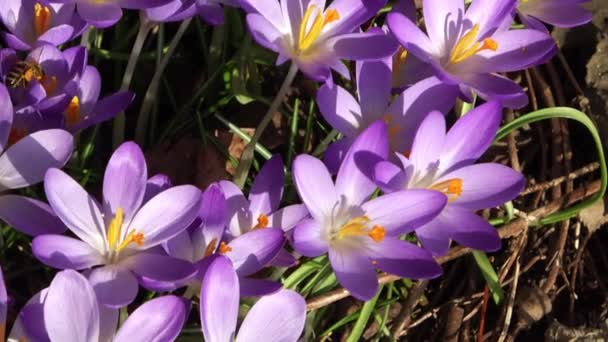 Venku rostou včely na fialovém krokusu. Pohled na kouzelné kvetoucí jarní květiny crocus sativus. Selektivní zaměření.