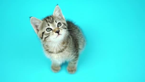 Roztomilé malé šedé kotě se zelenýma očima se dívá nahoru na modré