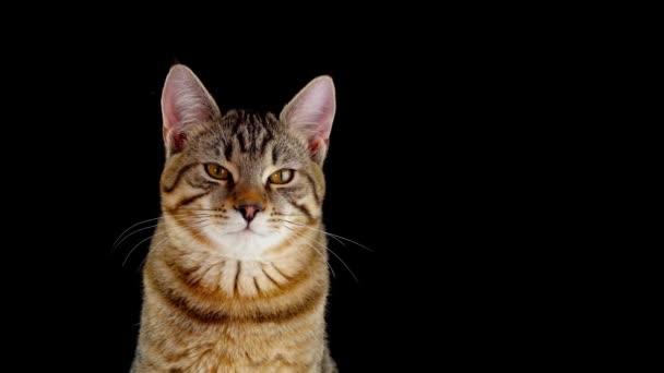 Hnědá kočka s čárami na černém pozadí