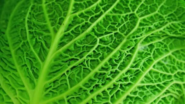 Green cabbage rotates close up