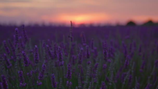 Fialové květy levandule při západu slunce večer