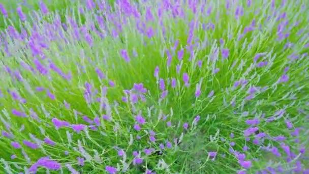 Fialová levandule a zelená tráva