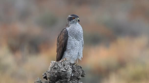 Northern goshawk adult female on a cork oak trunk in an oak and pine forest in the colors of autumn with the last lights of the day