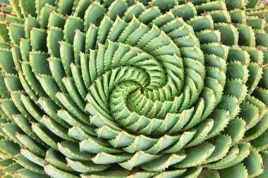 Pattern of spiral aloe