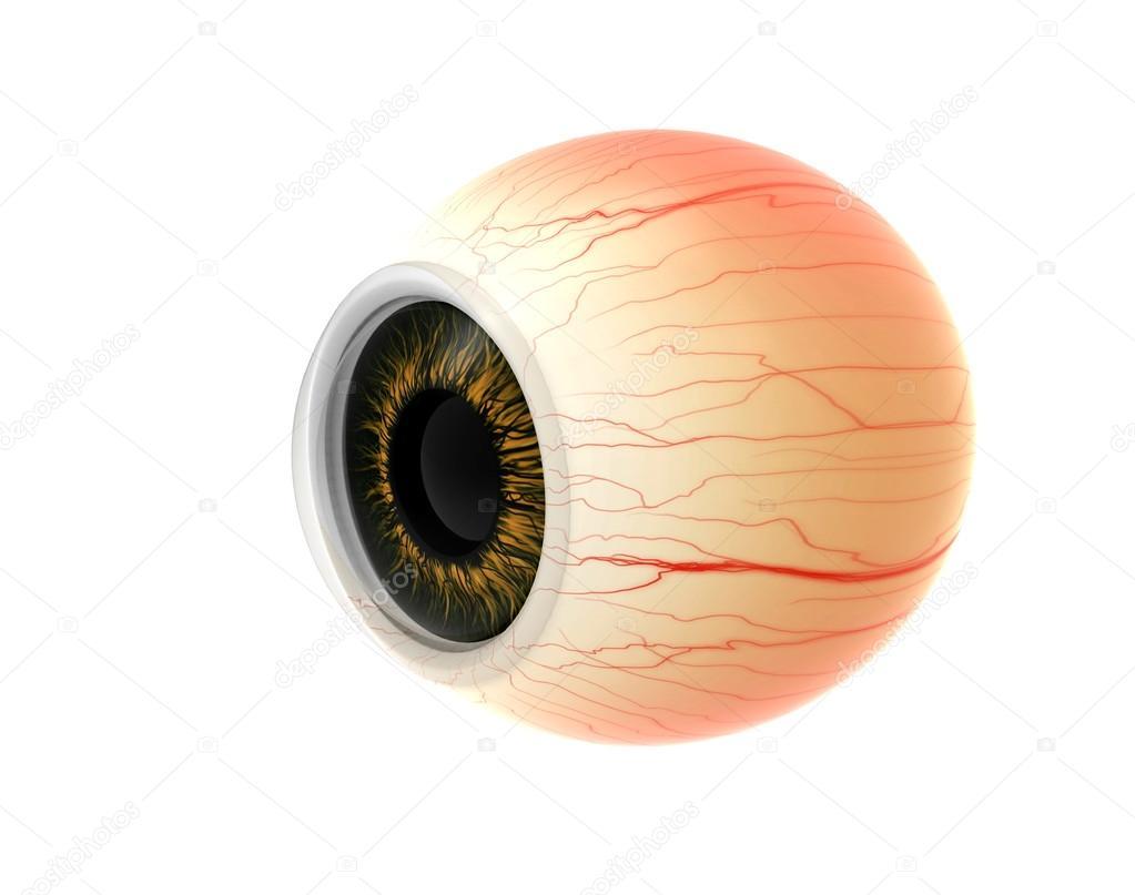 Dissection de le œil humain anatomie — Photographie oleg3DD © #85327478