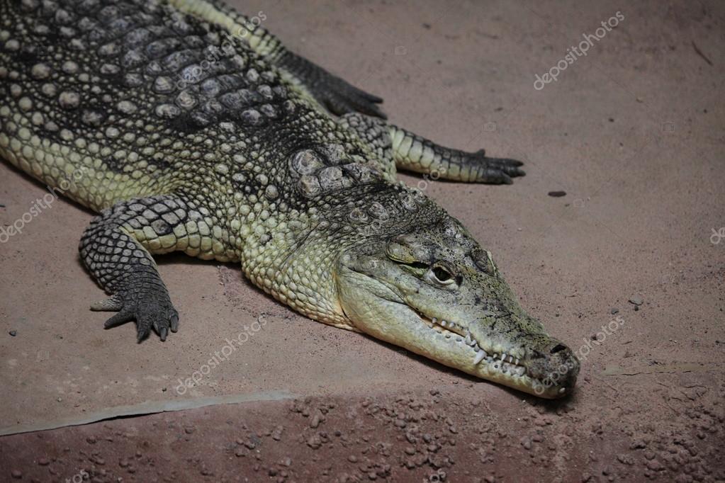 486232945f14 Crocodile Alligator and Cayman — Stock Photo © hecke06  64311029