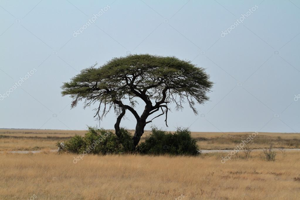 Umbrella Thorn Acacia In Africa Stock Photo Hecke06 90813450