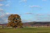 Old oak tree in golden autumn
