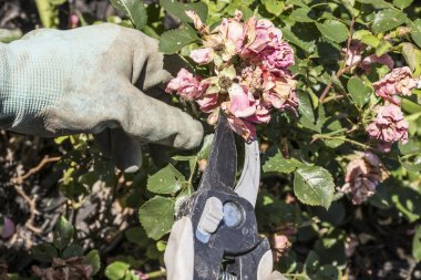 Pruning Drift Roses