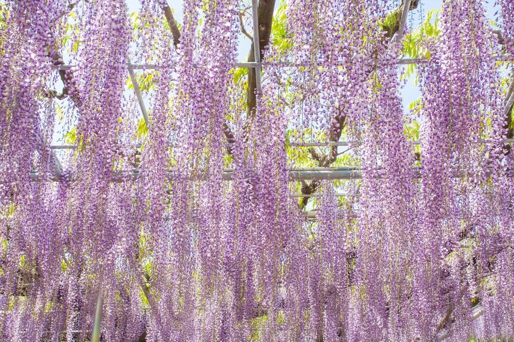 Beautiful Wisteria bloomimg