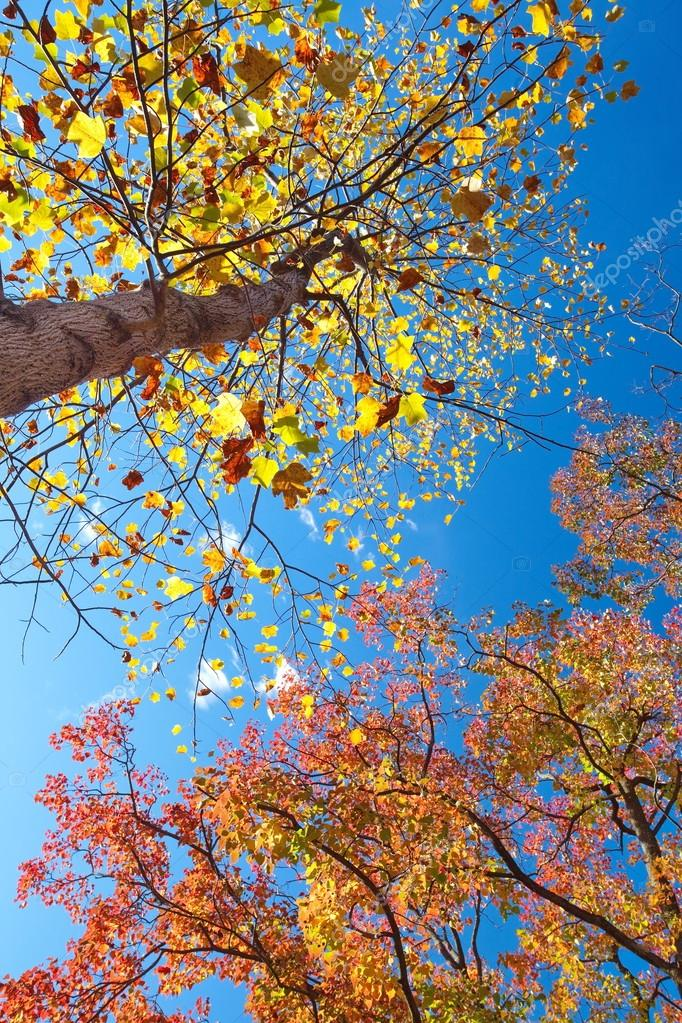 Big tree with yellow and red leaves