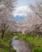 Fuji e sakura cherry blossom