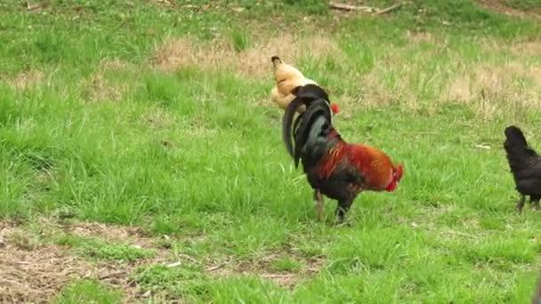 Gallo nella farm