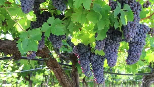 szőlő és a szőlőültetvény