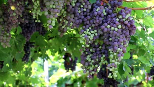 fekete szőlő és a szőlőültetvény