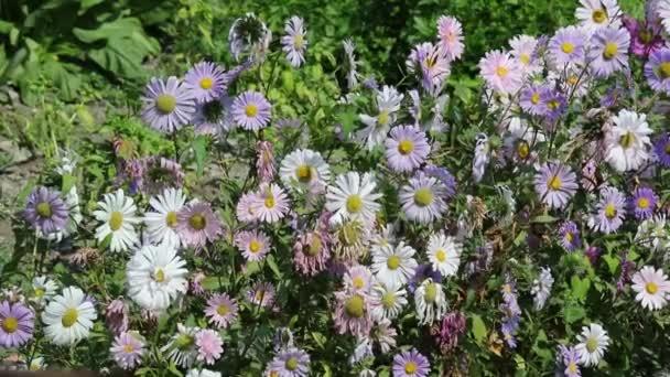 zvadlý sedmikrásky a vítr v zahradě