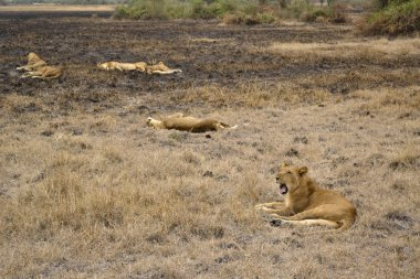 Lions in the African bush