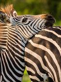 Zebra odpočívá to hlavu